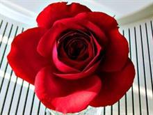 Rrang Rose