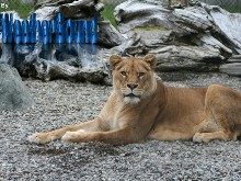 Lion Stare