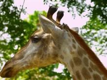 4K Giraffe
