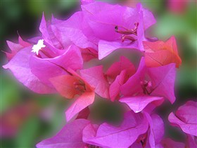 Bougainvillea Purple